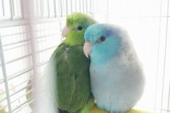 Beautiful Parrotlet Couple, Piper & Archer