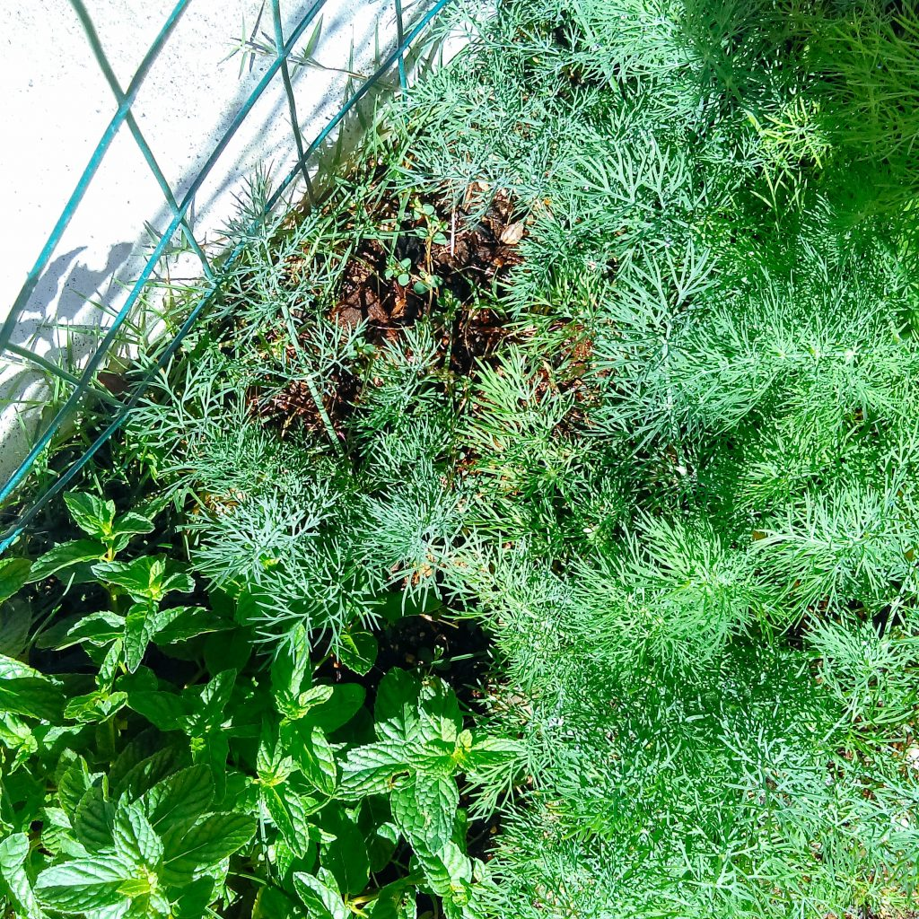 Dill in the garden.