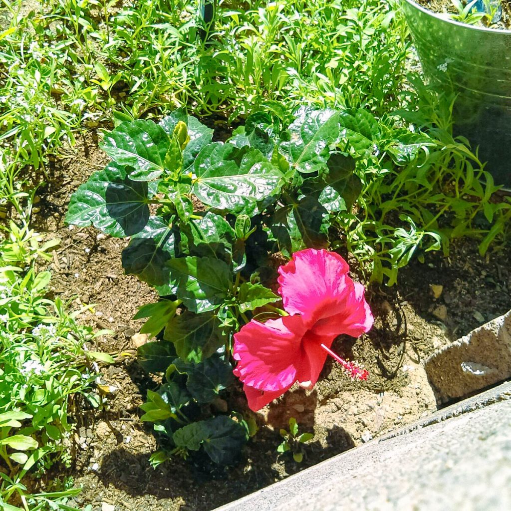 A hibiscus flower in Shannon's garden.