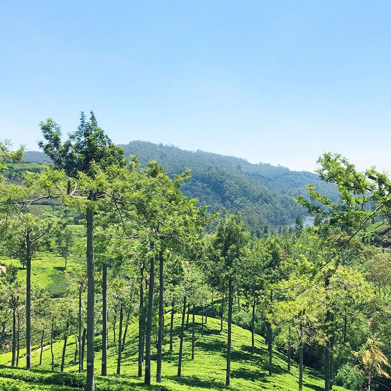 The lush tea hills of Pedro Estate in Ella, Sri Lanka. | www.achronicvoice.com