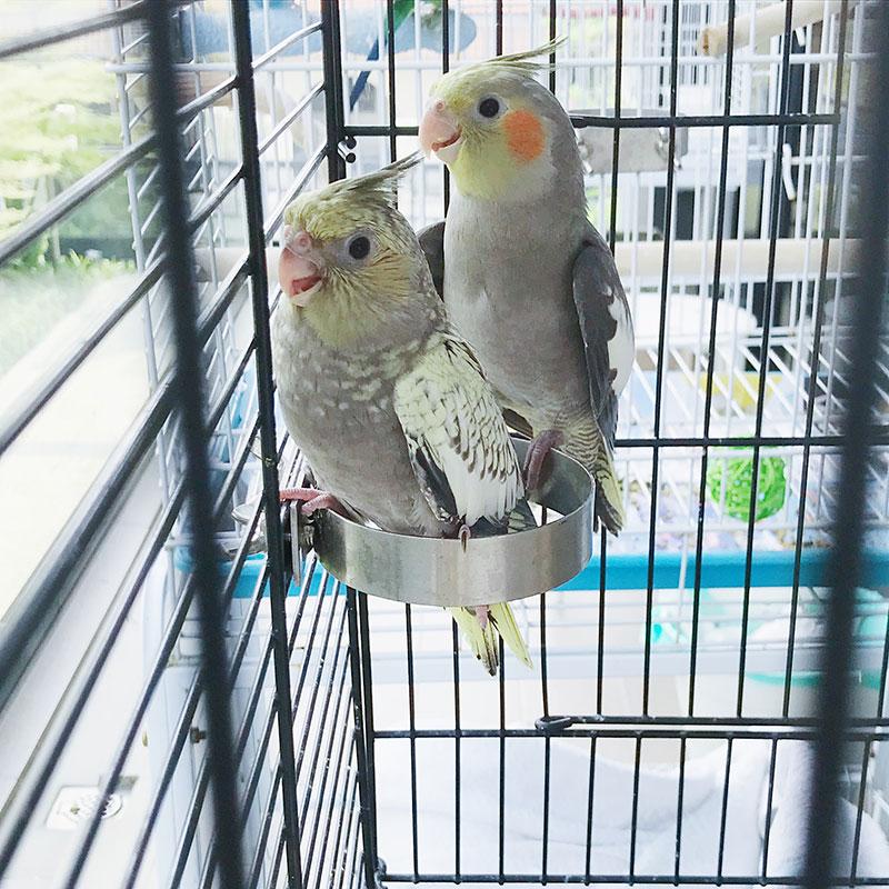 Cockatiel Babies